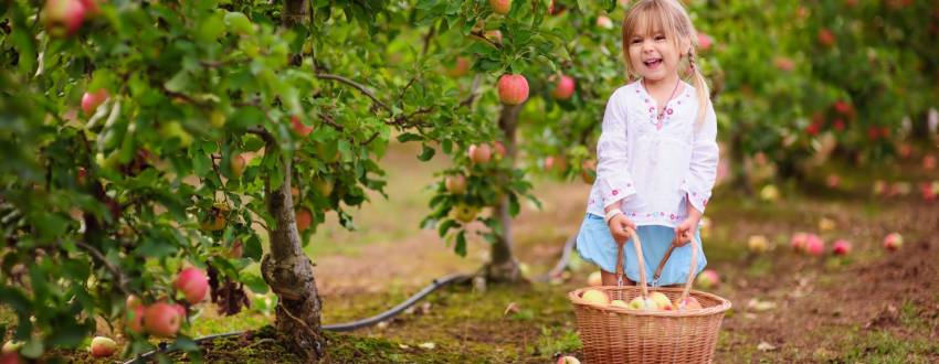 Do I Need to Be Concerned about Orlah When Apple Picking?